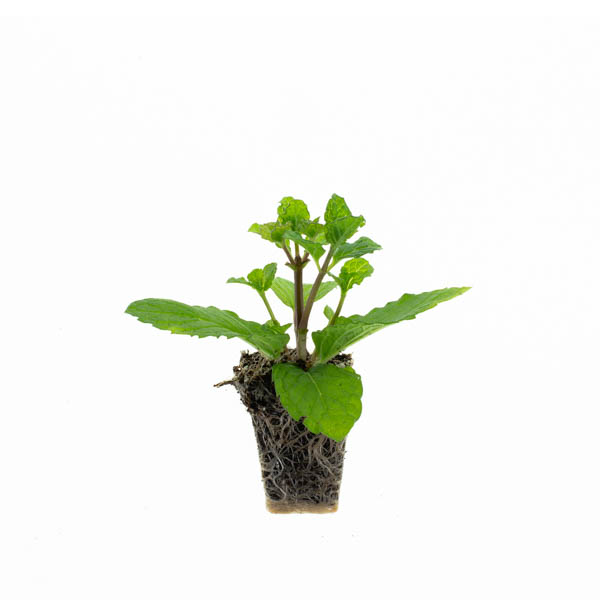 Shop Ferry Morse Plantlings Mint Spearmint Kentucky Colonel live plant plug