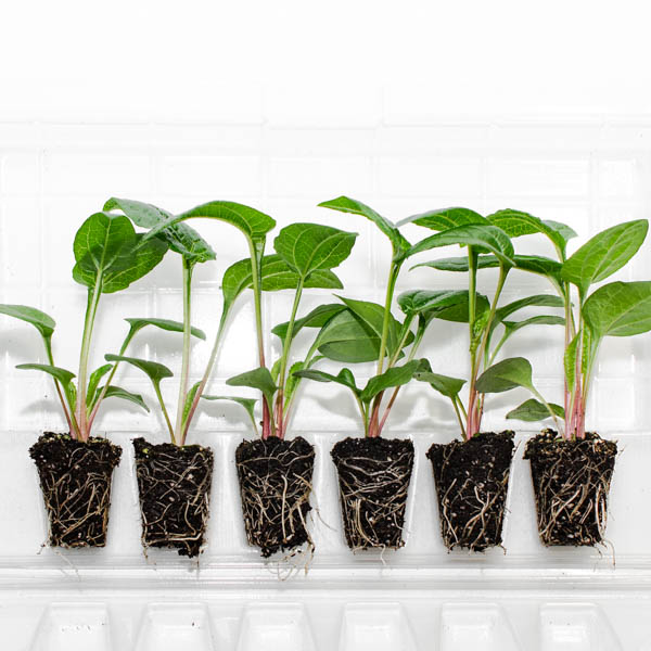 Shop Plantlings baby plants from Ferry Morse