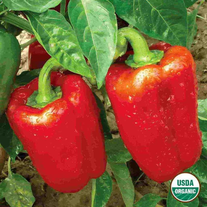 Shop Organic California Wonder Bell Pepper Garden Seeds