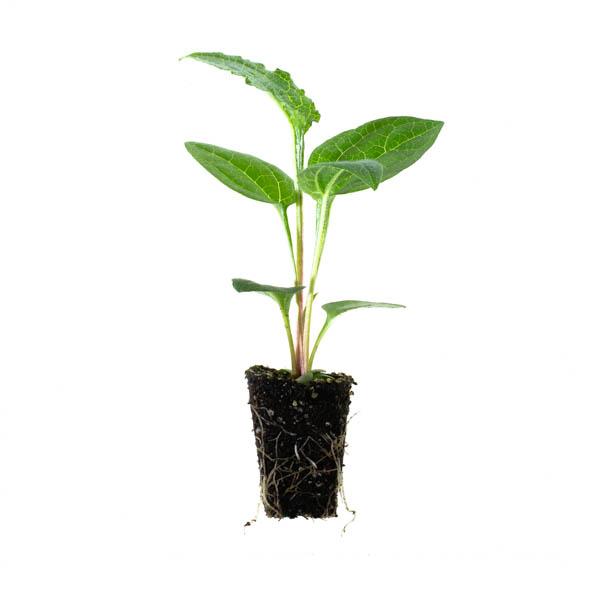 Shop Ferry Morse Plantlings waltham Butternut Squash live plant plug