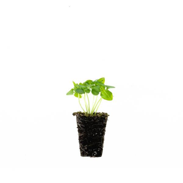Shop Ferry Morse Plantlings Basil Dolce Fresca live plant plug