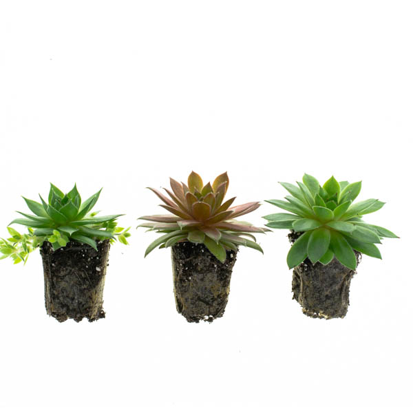 Shop Ferry Morse Plantlings Sempervivum Mixed Succulent live plant plug