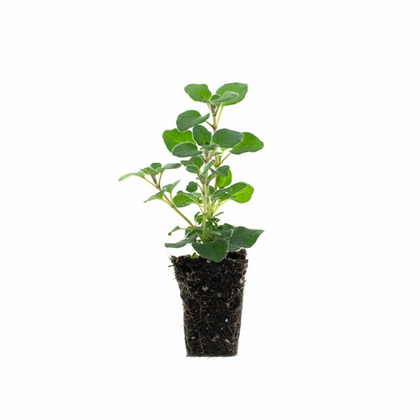 Shop Ferry Morse Plantlings Oregano Hot Spicy live plant plug