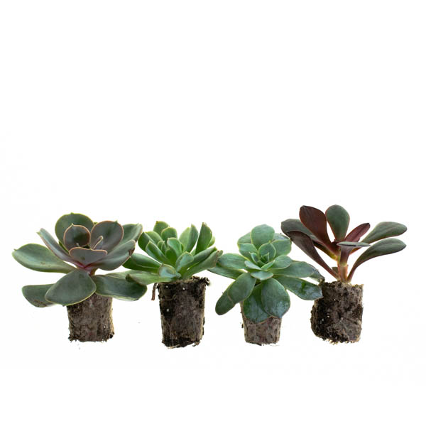 Shop Ferry Morse Plantlings Echeveria Mixed Succulent live plant plug