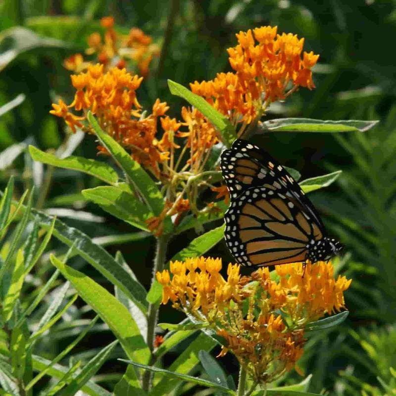 Shop Butterfly Weed Flower Seeds