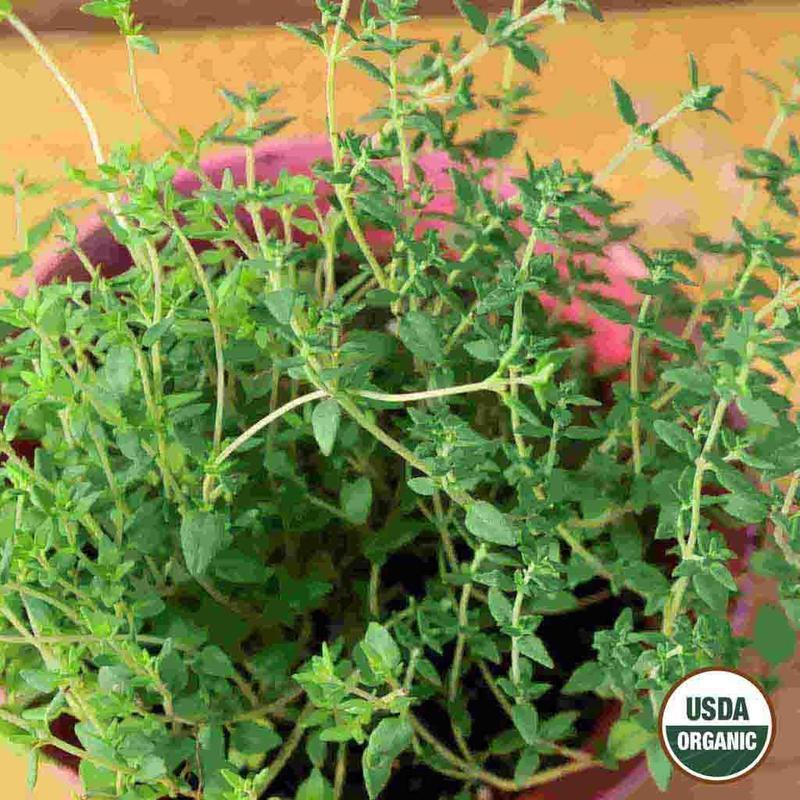 Shop Organic Thyme Herb Seeds