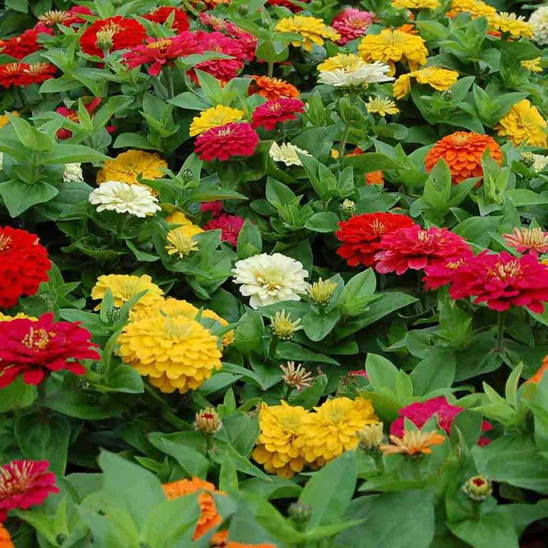 Shop Ferry Morse Zinnia State Fair Flower Seeds Mixed Colors