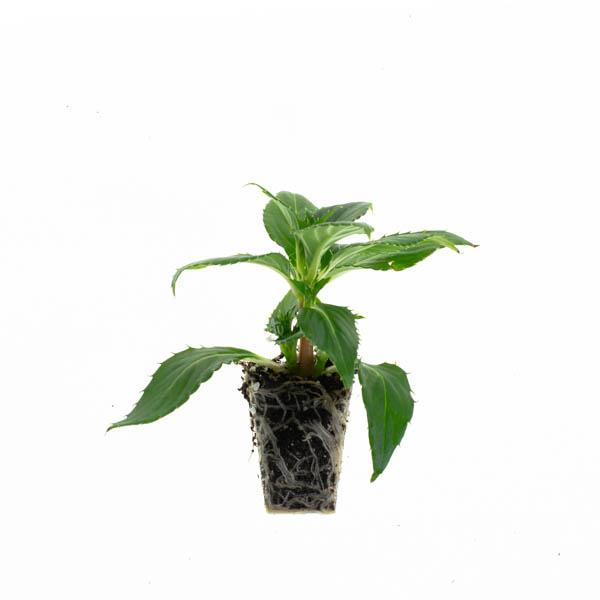 Shop Ferry Morse Plantlings Sunpatiens Compact White live plant plug