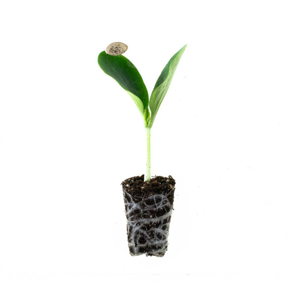 Shop Ferry Morse Plantlings Pumpkin Howden Jack o Lantern live plant plug