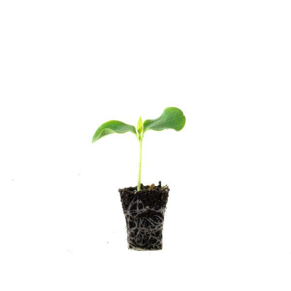 Shop Ferry Morse Plantlings Dark Green Zucchini Summer Squash live plant plug
