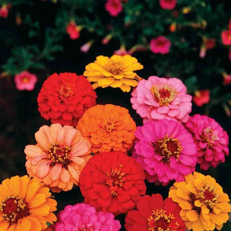 Shop Zinnia Lilliput Container Gardening Seed Mixed Colors