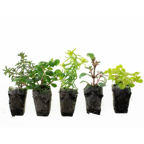 Shop Ferry Morse Plantlings Sedum Creeping Mixed Succulent live plant plug