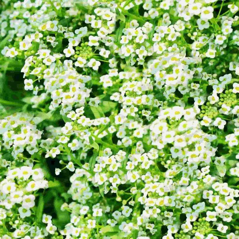 Shop Alyssum Snow Carpet Flower Seeds