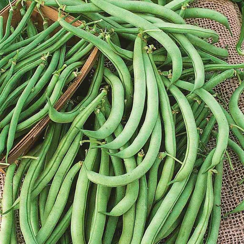 Shop Tendergreen Bush Bean Heirloom Seeds
