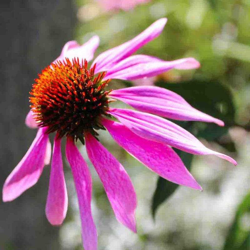 Shop Purple Coneflower Flower Seeds