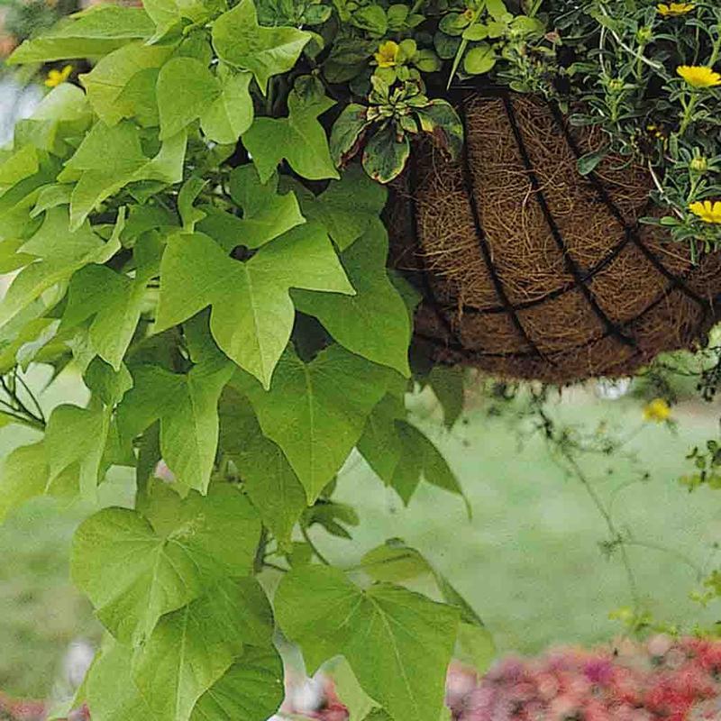 Ferry Morse Sweet Potato Vine Ipomoea Plantlings