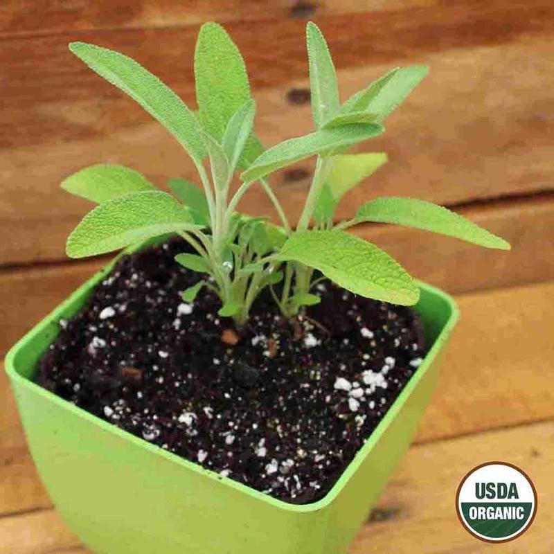 Shop Organic Sage Herb Seeds