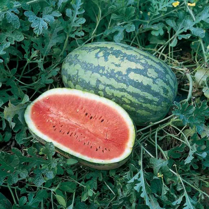 Shop Georgia Rattlesnake Heirloom Watermelon Seeds