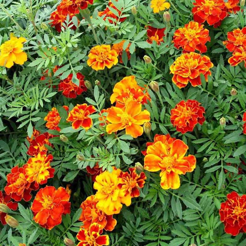 Ferry Morse Marigold French Double Dwarf Seed