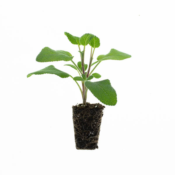 Shop Ferry Morse Plantlings Sage Berggarten live plant plug