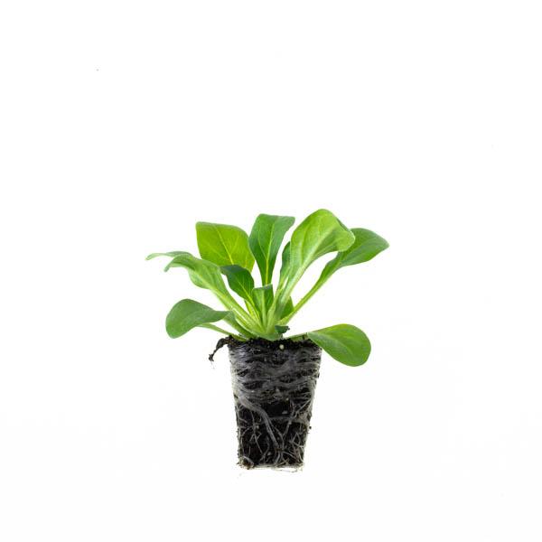 Shop Ferry Morse Plantlings Petunia Premium Blue live plant plug