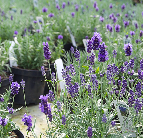 Lavender growing in a Nursery Tunnel