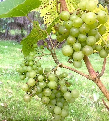 English wine, Herefordshire wine, phonix grape, vineyard