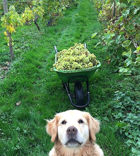 Herefordshire wine England wine family dog family vineyard