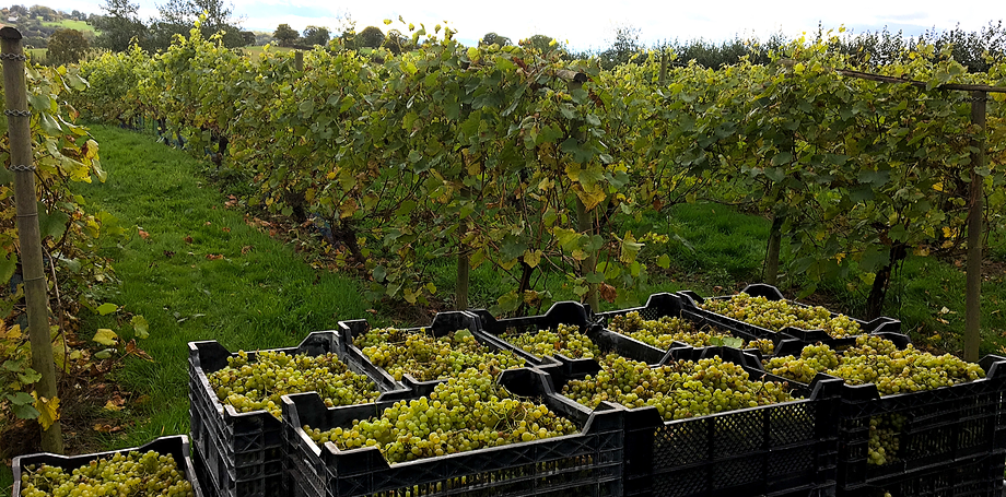 Herefordshire wine, vineyard, English wine, crop, harvest, vinery, tractor, grapes