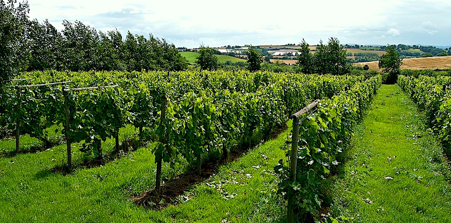 Vineyard in Herefordshire, England