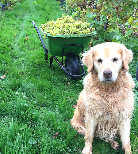 Herefordshire wine, English wine, vineyard, family dog, vinery