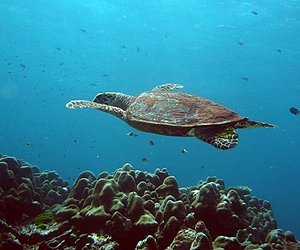 Scuba diving next to turtles in Phi Phi islands