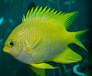 Keltaisia kaloja Maya Baylla