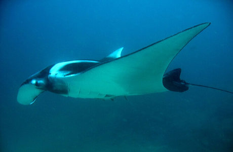 Manta ray in Phi Phi islands