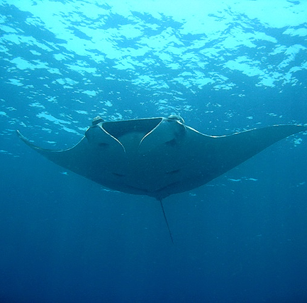 Manta ray roaming in the sea