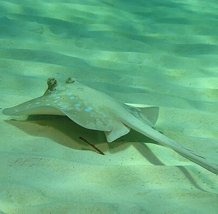 Scuba diving with rays in Koh Lanta