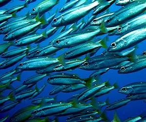 Sukella suurien kalaparvien kanssa