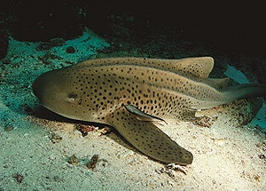 Leopard shark at Shark point dive site