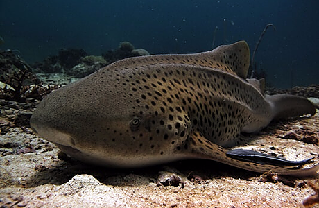 Leopard shark at the bottom