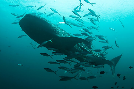 Legendary whale sharks at southern Thailand