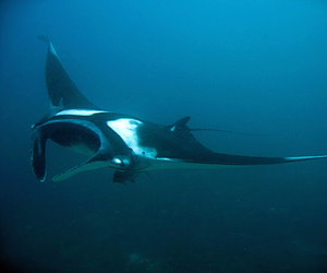 Scuba diving with manta rays from Krabi