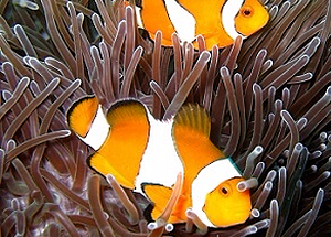 anemone reef at southern thailand