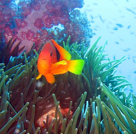 Kala uimassa pehmeässä korallissa Anemone reeffillä