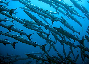 School of barracudas at local wreck dive site