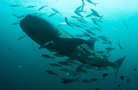 Whale shark surrounded by smaller fish