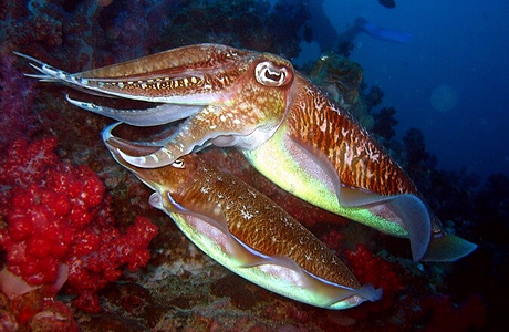 Squid swimming across a reef