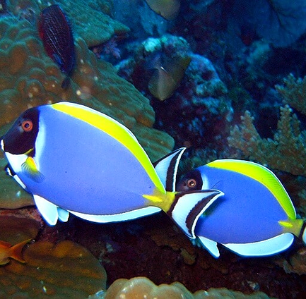Pair of colorful fish in Similan