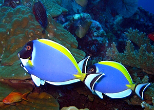 Two fish spotted on Similan Islands
