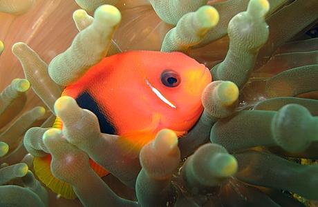 Värikäs kala pehmeän korallin keskellä