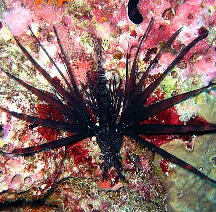 Beautiful lionfish in Similan islands